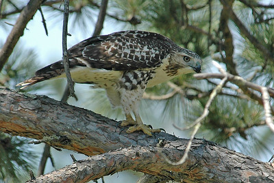 Hawk - Red-tailed - Itasca County, MN