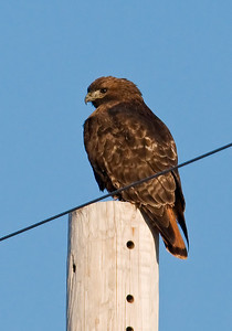 Hawk - Red-tailed - dark morph - McLeod County, MN