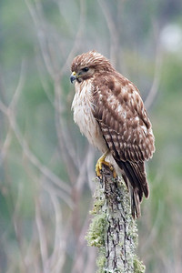 Hawk - Red-shouldered - juvenile - Eastpoint, FL - 02