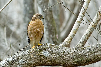 Hawk - Red-shouldered - Apalachicola National Forest, FL