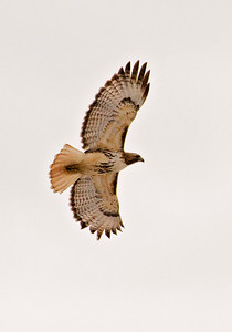 Hawk - Red-tailed - Hwy 169 - Bovey, MN