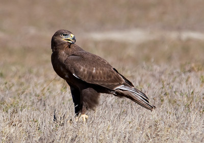 Hawk - Ferruginous - juvenile - dark - Badlands Nat'l Park, SD - 02
