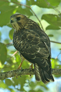 Hawk - Broad-winged - Itasca County, MN