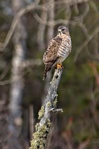 Hawk - Cooper's - Itasca County, MN
