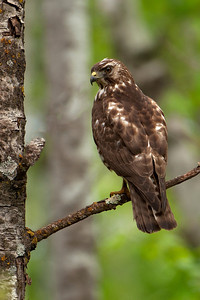 Hawk - Broad-winged - Dunning Lake, MN - 02