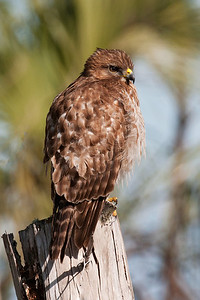 Hawk - Red-shouldered - St. Marks NWR - FL