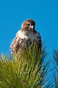 Hawk - Red-tailed - Apalachicola, FL