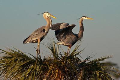 Heron - Great Blue - Pair at nest - Viera Wetlands, FL - 01