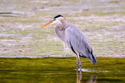 Heron - Great Blue - Ding Darling NWR - Sanibel Island, FL