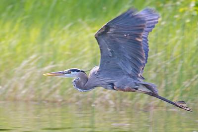 Heron - Great Blue -  Dunning Lake,  MN - 02