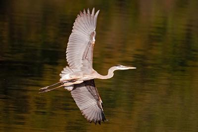 Heron - Great Blue -  Lake Henrietta - Tallahassee, FL