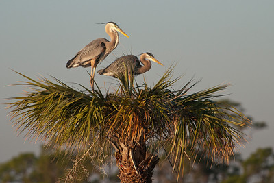 Heron - Great Blue - Pair at nest - Viera Wetlands, FL - 03