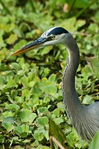 Heron - Great Blue - Corkscrew Swamp, FL