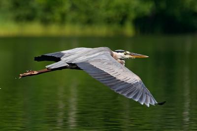 Heron - Great Blue -  Dunning Lake,  MN - 01