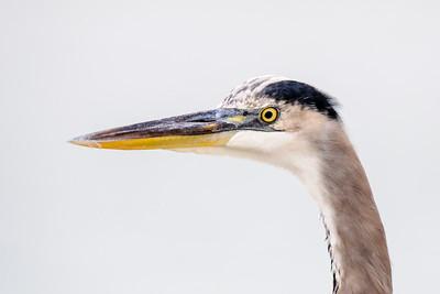 Heron - Great Blue - Blind Pass - Sanibel Island, FL