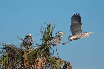 Heron - Great Blue - Pair at nest and intruder - Viera Wetlands, FL