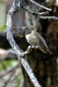 Hummingbird - Black-chinned - Beatty's - Miller Canyon, AZ