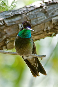 Hummingbird - Magnificent - male - Beatty's - Miller Canyon, AZ - 02