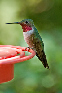 Hummingbird - Broad-tailed - Beatty's - Miller Canyon, AZ - 01