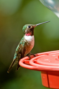 Hummingbird - Broad-tailed - Beatty's - Miller Canyon, AZ - 02