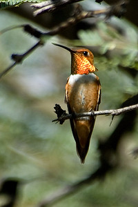 Hummingbird - Rufous - Ash Canyon B&B - Hereford, AZ