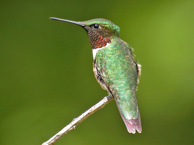Hummingbird - Ruby-throated - male - Dunning Lake, MN