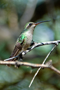 Hummingbird - Broad-billed - Ash Canyon B&B - Hereford, AZ