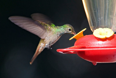 Hummingbird - Buff-bellied - Apalachicola, FL - 02