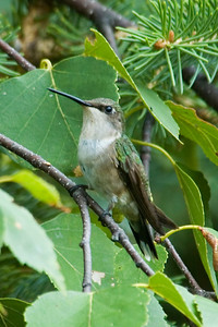 Hummingbird - Ruby-throated - female - Dunning Lake, MN - 03