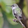 Hummingbird - Calliope - Apalachicola, FL