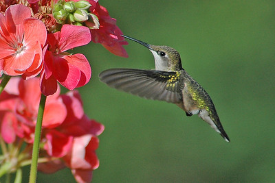 Hummingbird - Ruby-throated - female - Dunning Lake, MN - 02