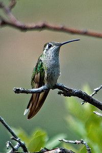 Hummingbird - Magnificent - female - Beatty's - Miller Canyon, AZ