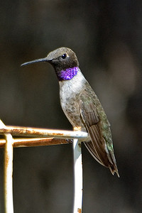Hummingbird - Black-chinned - Ash Canyon B&B - Hereford, AZ