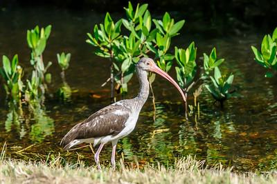 Ibis - White - juvenile - Ding Darling NWR - Sanibel Island, FL