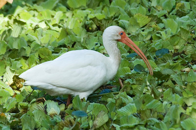 Ibis - White - Corkscrew Swamp, FL - 01