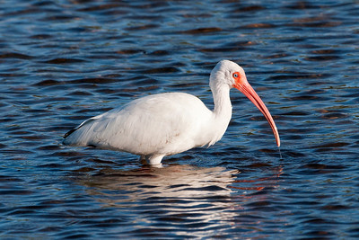 Ibis - White - Ding Darling NWR - Sanibel, FL - 04