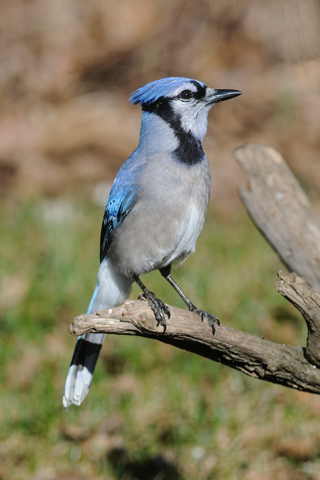 Jay - Blue - Dunning Lake - Itasca County, MN