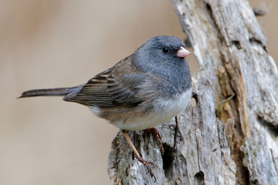 Junco - Dark-eyed - Dunning Lake, MN - 09
