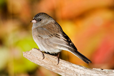 Junco - Dark-eyed - Dunning Lake, MN - 02