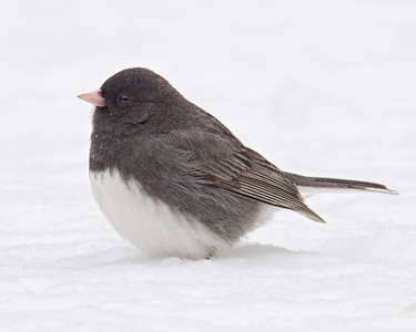 Junco - Dark-eyed - Dunning Lake, MN - 04