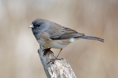 Junco - Dark-eyed - Dunning Lake, MN - 14