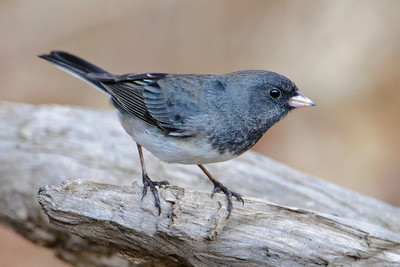 Junco - Dark-eyed - Dunning Lake, MN - 13