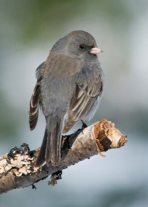Junco - Dark-eyed - Dunning Lake, MN - 01