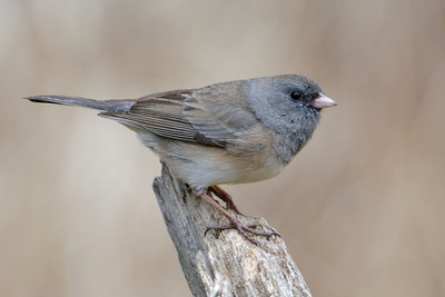 Junco - Dark-eyed - Dunning Lake, MN - 20
