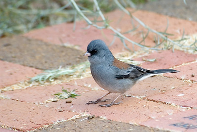 Junco - Dark-eyed (gray-headed subspecies) - Santa Fe, NM
