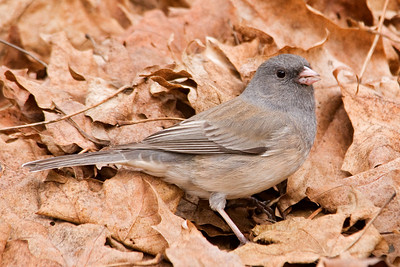 Junco - Dark-eyed - Dixon Lake - Itasca County, MN