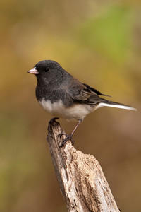 Junco - Dark-eyed - Dunning Lake, MN - 06