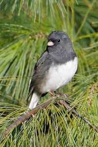 Junco - Dark-eyed - Dunning Lake, MN - 21