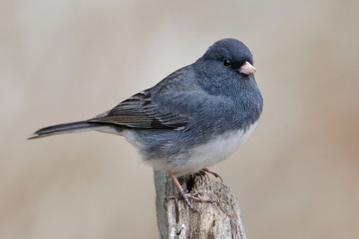 Junco - Dark-eyed - Dunning Lake, MN - 08