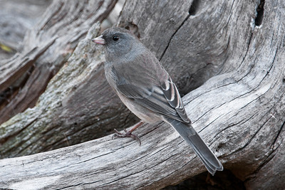 Junco - Dark-eyed - Dunning Lake, MN - 05